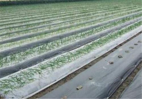 花生地膜覆盖栽培技术