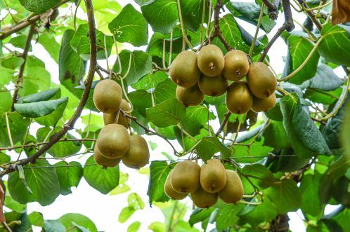 猕猴桃什么时候种