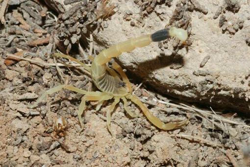 蝎子多少钱一斤