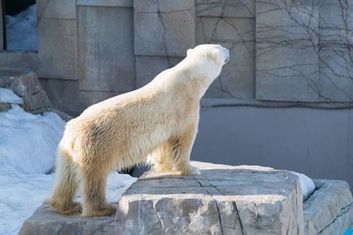 北极熊身上被赐字