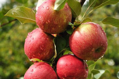 现在苹果多少钱一斤