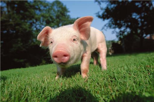 数千头猪听音乐就知道开饭,这条件反射训练的不错