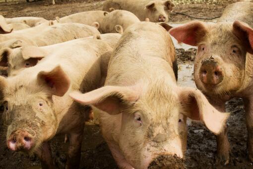 日本已扑杀生猪17万头-摄图网