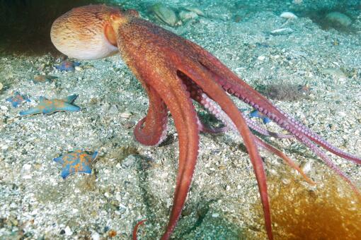 章鱼拆贝壳当房门求安全感-摄图网
