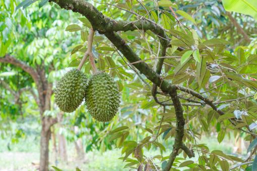 榴莲树适合在什么地方种植-摄图网