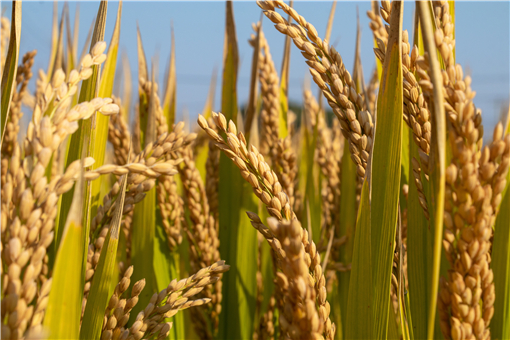 2021年水稻补贴标准-摄图网