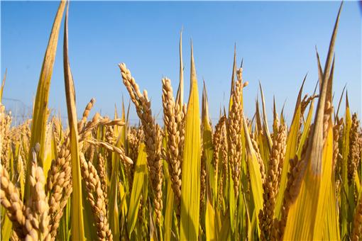 2021年水稻补贴一亩地多少钱-摄图网