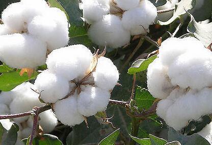 我国棉花高效施肥技术,配方,时间和效果