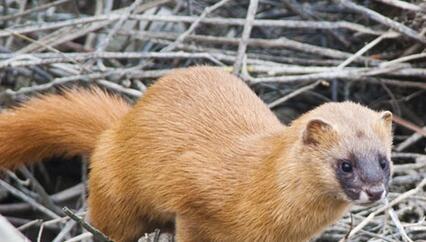 黄鼠狼是国家保护动物吗?黄鼠狼主要吃什么东西,食物?