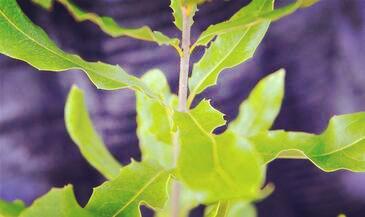 夏威夷果树长什么样?种植几年后能开花结果?