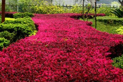 维垹�nzy��NYH_红花檵木4~5月开花,花期长,约30~40天,国庆节能再次开花.