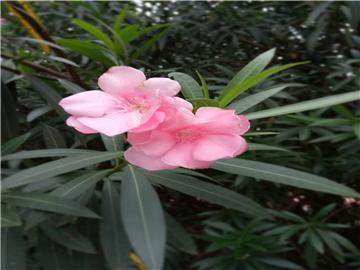 夹竹桃是一种对环境有很强适应力的植物,比较容易栽培管理,且耐修剪