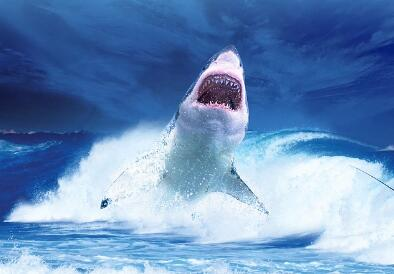"""凶猛""""海中狼""""鲨鱼的天敌是什么动物?是海豚和虎鲸吗?"""