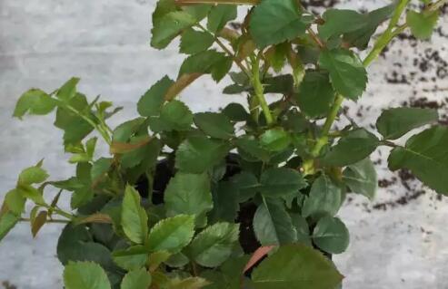 盆栽玫瑰花怎么养?养殖方法和注意事项有哪些?怎么修剪?