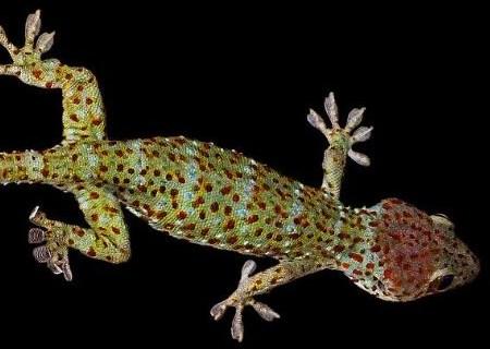 爬行动物壁虎是胎生还是卵生?它吃什么?尾巴断了为什么会动?
