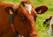养牛长期的利润分析:一年能赚多少钱?