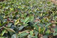 油茶苗价格大概是多少钱一棵?种植前景怎么样?