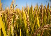 既稳产又保护环境,绿色超级稻背后有什么奥秘?