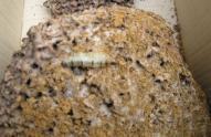 白蚁有哪些危害?蚁后是怎么产生的?