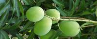 芒果开花期的管理技术