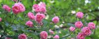 蔷薇的花期