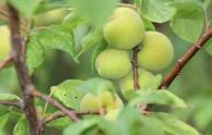 未成熟的桃子和桃仁有毒吗?