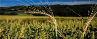 北方麦子什么时候成熟
