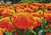 晨光生物发展万寿菊种植产业助里南疆脱贫