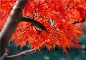 枫树种子怎么种
