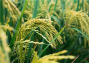 台风利奇马对水稻、玉米、蔬菜等农作物有哪些影响?附灾后恢复技术指导意见!