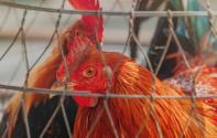 2019毛鸡最新价格上涨到15元一斤!养一只鸡能赚多少?