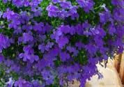 翠蝶花什么时候播种