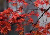 红枫的栽培技术