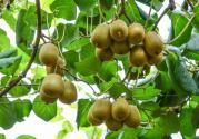 绿心、黄心和红心猕猴桃树苗价格是多少钱一棵?种植几年能挂果?