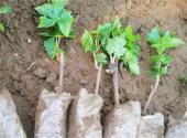 蓝宝石葡萄苗大概多少钱一棵?种植几年会结果?