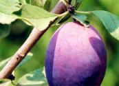 西梅种植技术要点:幼树管理很重要!