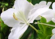 姜花是生姜的花吗?怎么水养?
