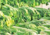 大白菜的常见储存方法有哪些?