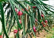 火龙果苗怎么卖,一米高的苗多少钱?