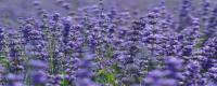 紫色花有哪些品种