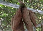 空中红薯栽培技术要点有哪些?