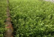 蓝莓苗价格是多少钱一棵?种植方法要点有哪些?