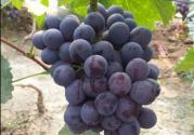 现在辽峰葡萄价格是多少钱一斤?附栽培技术
