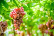 葡萄叶片药害怎么办