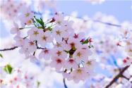 桃花靠什么传播种子