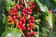咖啡树长什么样