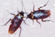 蟑螂怎么过冬?