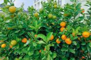 橘子树病害怎么治?