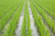 使用水稻除草剂发生药害怎么办?