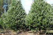 云杉是常绿还是落叶乔木?